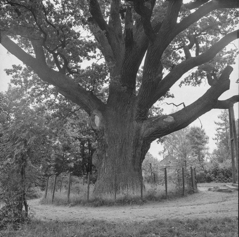 """Oak """"Bartek"""""""