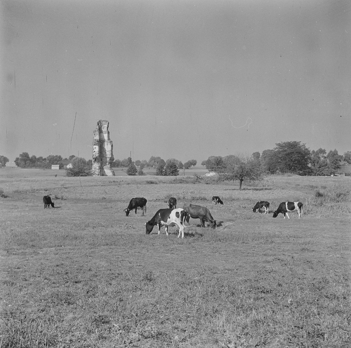 Zamek z pól z krowami