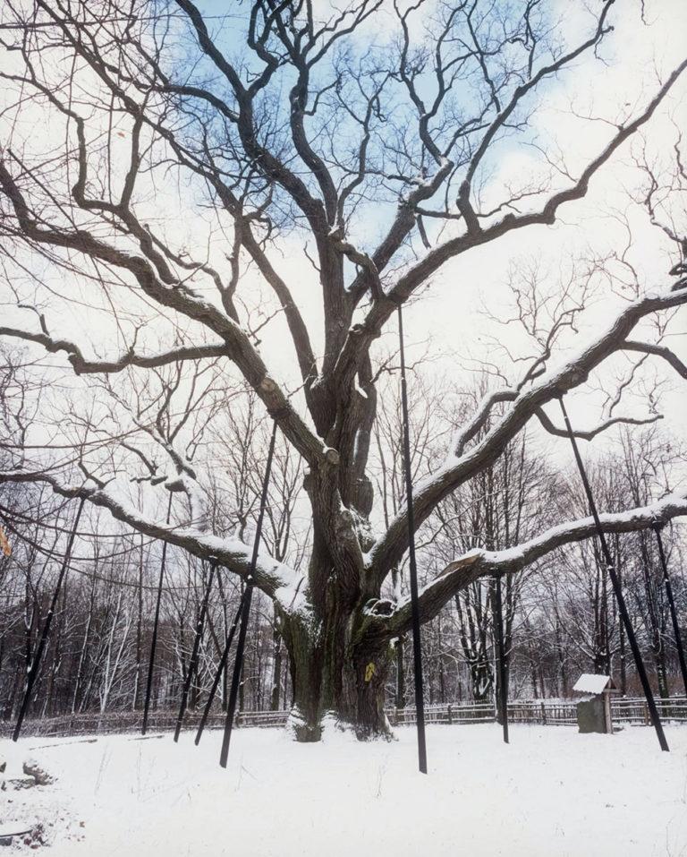 The Legendary Oak Bartek